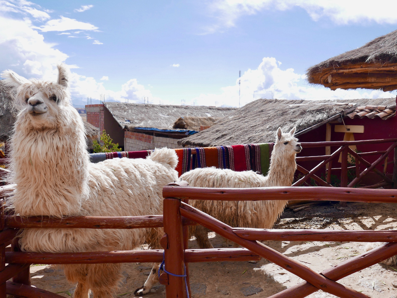 Cara Sharratt Travel - Alpacas - Cusco, Peru